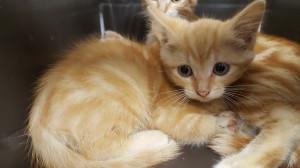 LOHAN Petite rouquine d'environ 2 mois, bientôt à l'adoption cette magnifique et adorable petite puce ne devrait pas attendre très longtemps pour trouver une gentille famille.