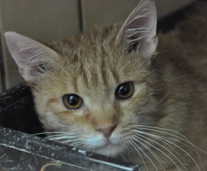 Hidaro Mâle  2 ans. Très gentil et câlin, il s'entend avec les autres chats.