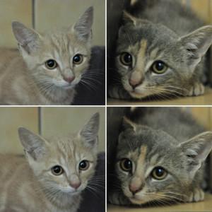 Picolo et Pinata  1 mâle et 1 femelle de 2 mois. Très timides pour le moment. Bientôt à l'adoption.
