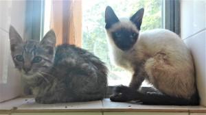 Punch et sa soeur  2 femelles de 3 mois.  Très stressées et craintives pour le moment. Bientôt à l'adoption.