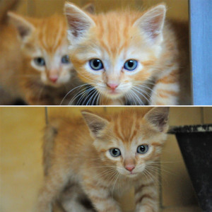 Ron et Ginny  1 frère et 1 sœur de 2 mois. Sociable et curieux, ils sauront vous faire craquer. Bientôt à l'adoption.