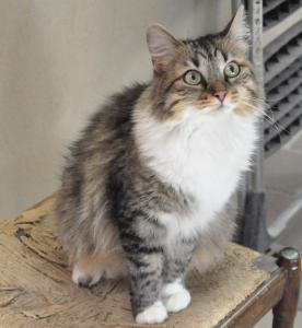 Kayla Femelle 2 ans  extrêmement câline, un vrai pot de colle, convient en appartement et habituée aux autres chats.