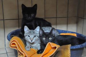 KITA, MAX ET MINA Adorables chatons de 3 mois, 2 femelles et un mâle , gentils et joueurs