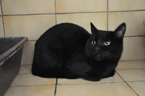 MALOT Jeune matou de 14 mois nouveau à l'adoption. Très gentil, laissé au refuge suite à un problème de logement de son propriétaire.