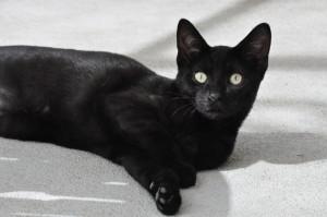MERMOZ Minou de 6 mois , petit frère de Ermoz , lui aussi timide mais très gentil. S'entend avec les autres chats. A placer en appartement.