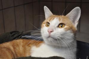 Mikado Mâle 2 ans Très câlin, gentil, et plutôt joueur. Il aime la compagnie des autres chats. Il peut convenir avec des enfants.