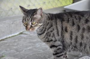 NEXUS Beau minou de 5 ans. Il s'entend avec les autres chats, a besoin d'avoir accès à l'extérieur.