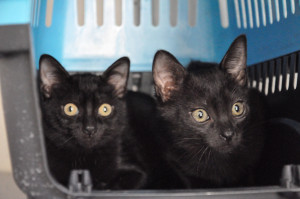 Odace et Odyssée Minette de 3 mois. Timides mais câlines, ont besoin de vivre au calme. Elles sont ok avec les chats et les chiens si ils sont doux. A placer en appartement.
