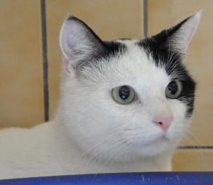 Pépito Mâle 1 an et demi Un amour de chat, très affectueux, une vrai boite à ronron.