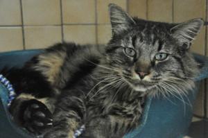 PILOU Magnifique matou de 4 ans, très gentil et qui adore les câlins, il est à placer sans autres chats et plutôt en maison