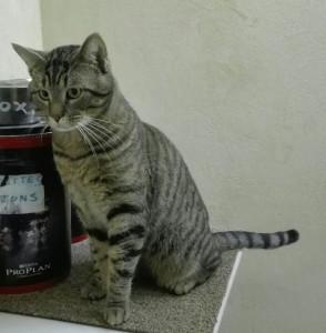 TEXAS Mâle de 4 ans câlin et sociable, ok chat