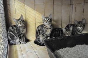 VENUS, MINA, PERLE, LUNA Femelles de 3 mois à sociabiliser. Très joueuses et curieuses, à placer sans enfants.